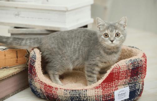 チェックのベッドの上のグレーの子猫