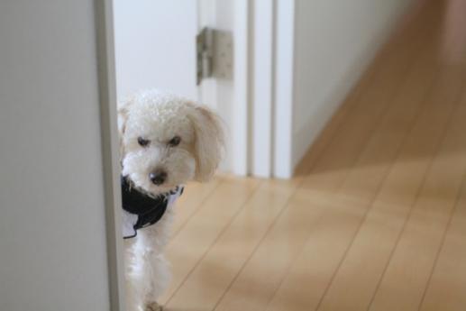 ドアからのぞく白い小型犬