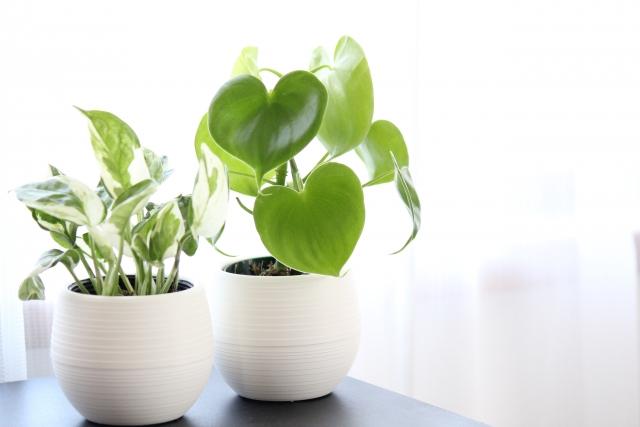 ハート形や丸みのある形の葉を持つ観葉植物
