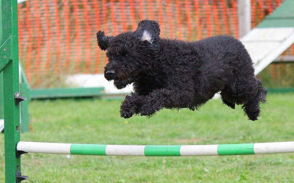 ジャンプする黒い犬