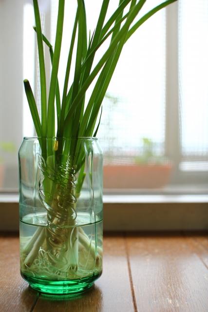 土を使わない、葱の水耕栽培