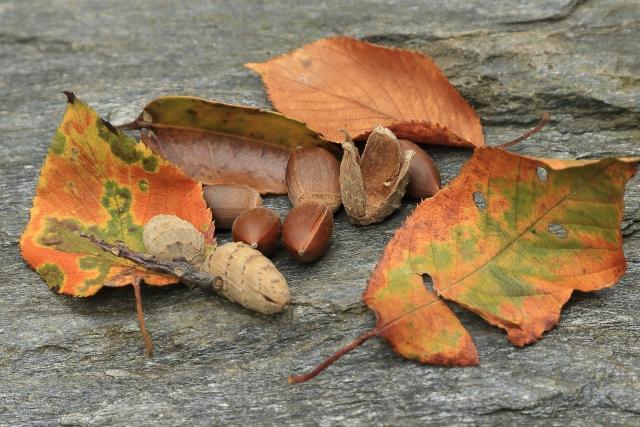 椎の実と木の葉