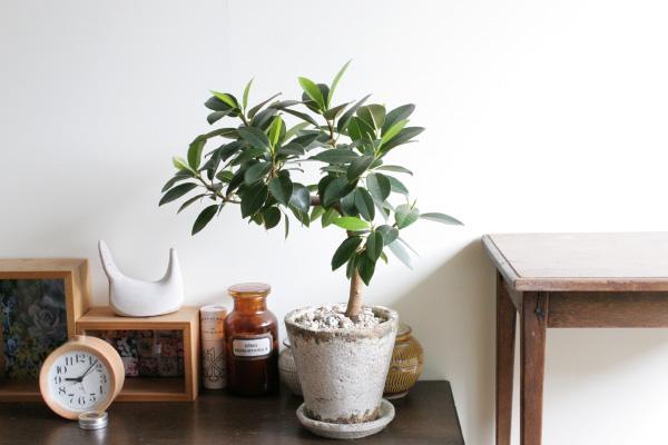 フランスゴムの木