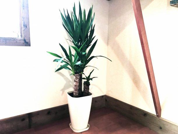 鉢植えのドラセナ