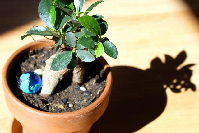 鉢植えのガジュマル